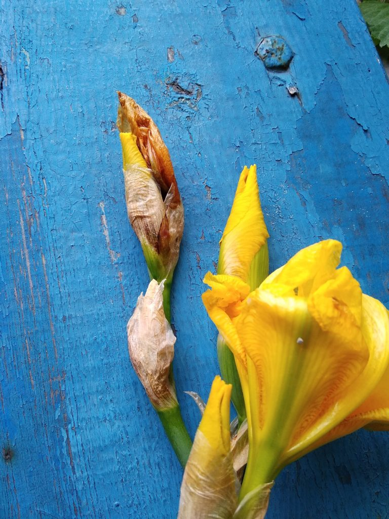 Бутон ириса - внутри ирисовая муха