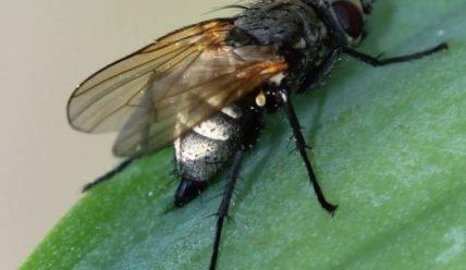 Ирисовая муха-причины и способы борьбы с вредителем